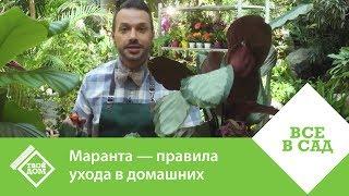 видео Как ухаживать за цветком маранта в домашних условиях. Маранта трехцветная молитвенное растение (+фото)