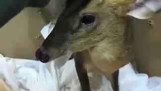 Карликовый олень мунтжак на фотосессиюI8(916)702-11-08 Москва