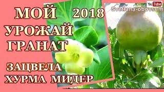 МОЙ ПЕРВЫЙ  УРОЖАЙ ГРАНАТ В 2018 ..УРА ЗАЦВЕЛА ХУРМА МИДЕР
