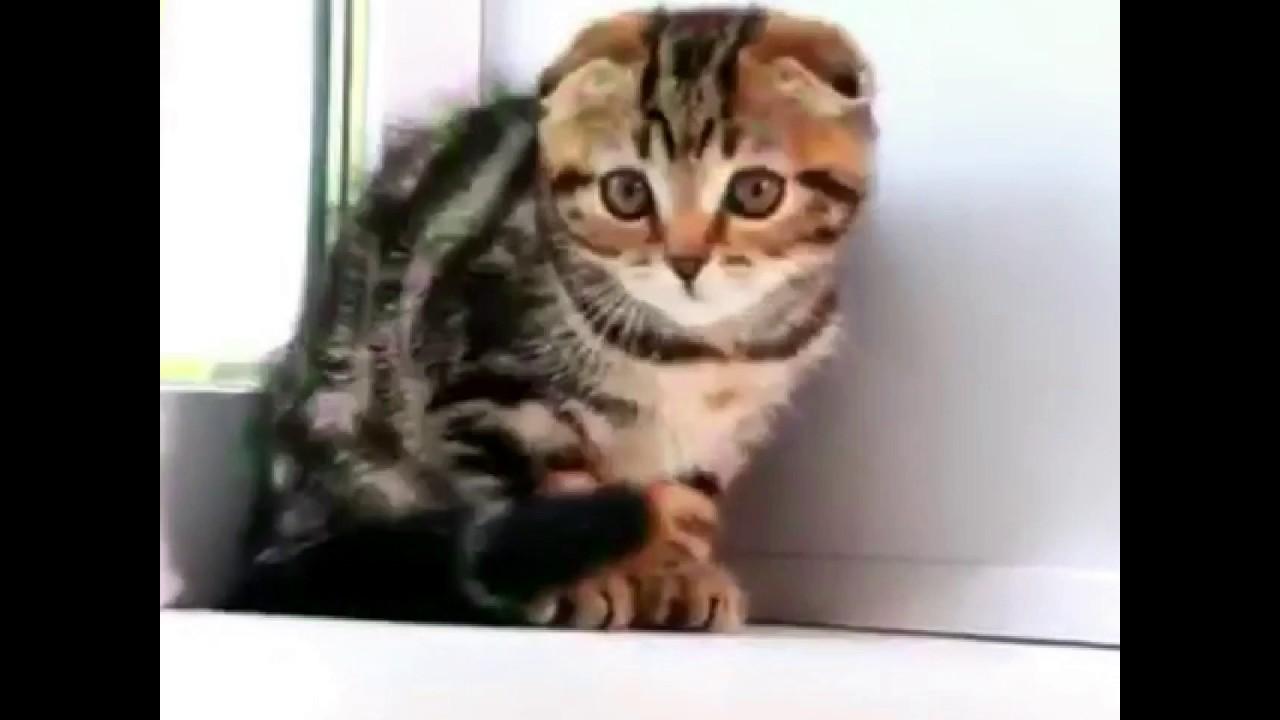 Rare Scottish Fold Kittens for Sale
