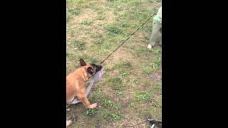 #optimum Canine Llc. Knox Playing Tug With Little Blain.