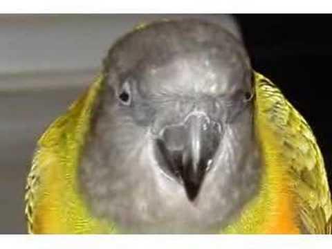 Garth (Senegal Parrot) Sings FEELING ALRIGHT!