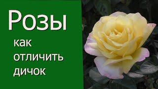 Розы как отличить дичок