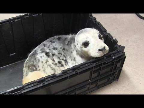 Helping injured seal pup part of the job for wildlife care worker