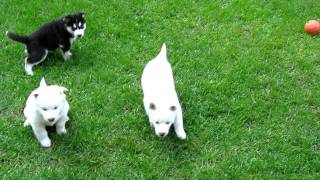 Siberian Husky Puppies 4 Weeks Old - 2nd Litter