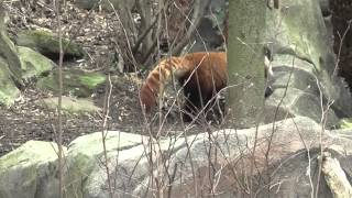 The National Zoo s Red Panda Rusty (planning his escape)