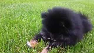 Cute Fluffy Puppy Jack Plays With Twig