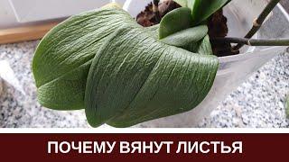 ????Почему Вянут Листья Орхидеи Пропадает Тургор Листьев Фаленопсиса