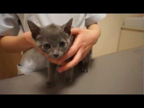 注射の瞬間みぎゃーと絶叫&尻尾ピーン!で完璧なリアクションをする子猫。ロシアンブルーのるーく