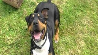 Rottweiler X English Bull Terrier Puppy.