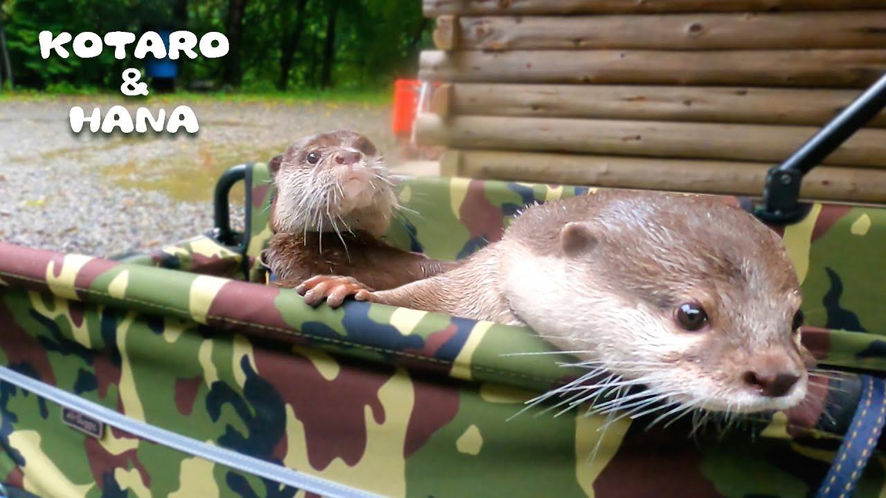 コタハナ号誕生!さっそくカワウソ乗せて川へ行ってみたら・・ Otters' Rainy Day Adventure