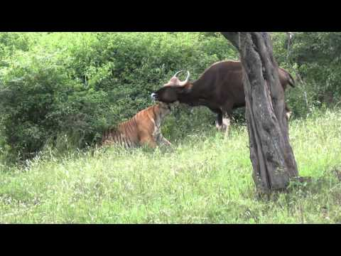 Rarest video of a tiger killing a gaur...