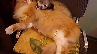 Домашний хорек. Жорика игнорирует Тимофей. Хорьки и коты.