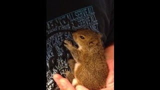 baby squirrel found in a bag of mulch