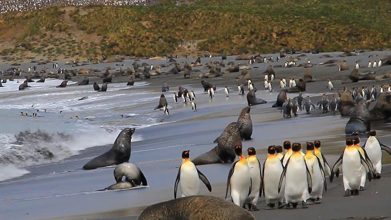 【動画】南極サウスジョージア島キングペンギンの世界