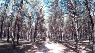 Просека в старом сосновом лесу