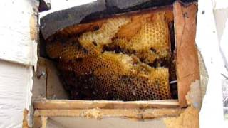 Bees in Soffet of House.