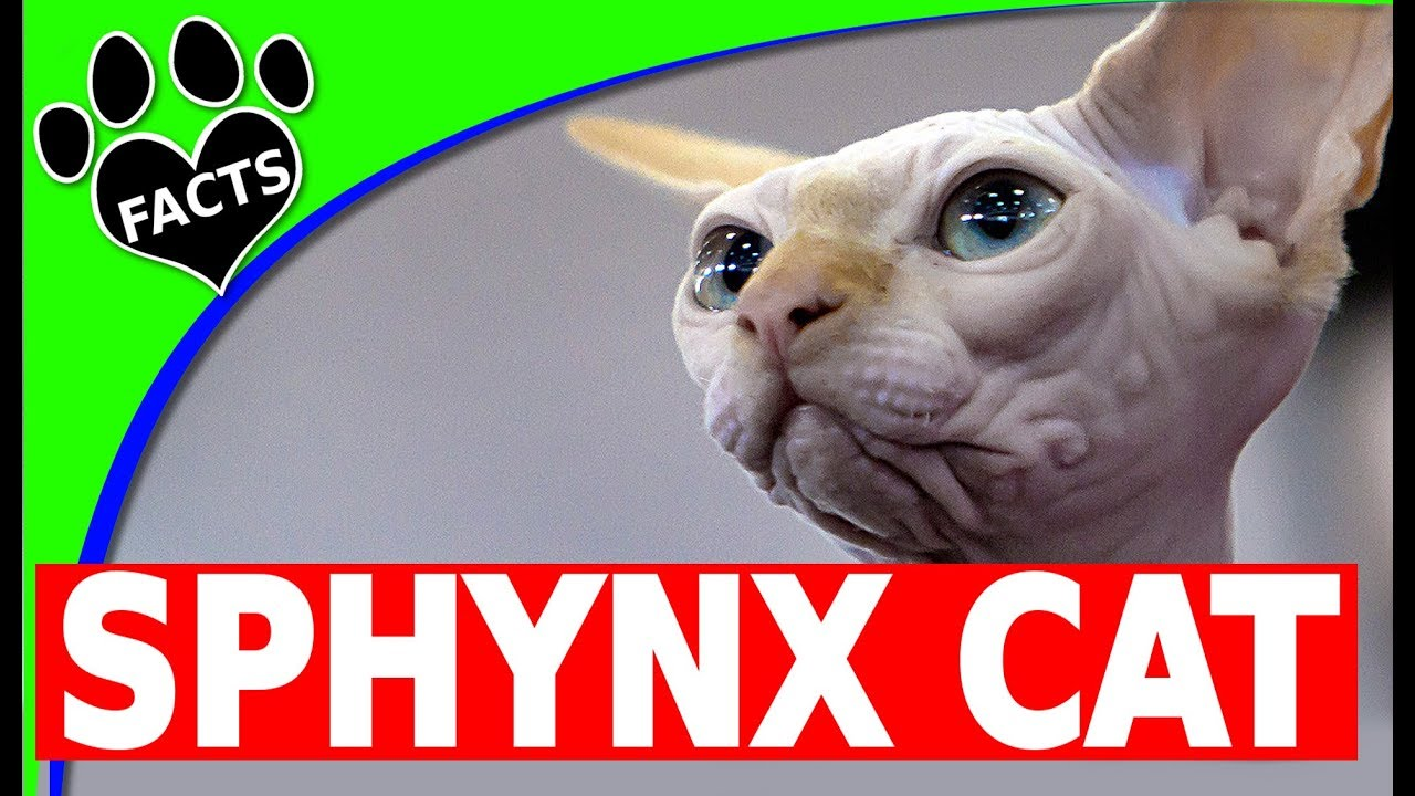 Cats 101: Sphynx Cats Fun Facts and Information - Animal Facts