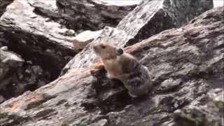 American Pika   seen at  Moraine Lake