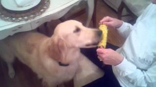 Golden Retriever Eating Corn On The Cobb.
