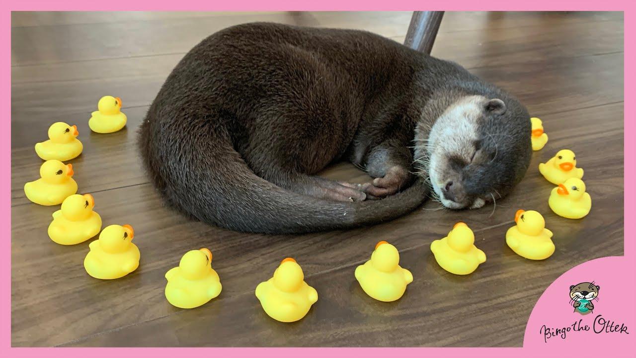 アヒルに囲まれた!カワウソのビンゴとベル|Otter Bingo&Belle surrounded by strange yellow ducky
