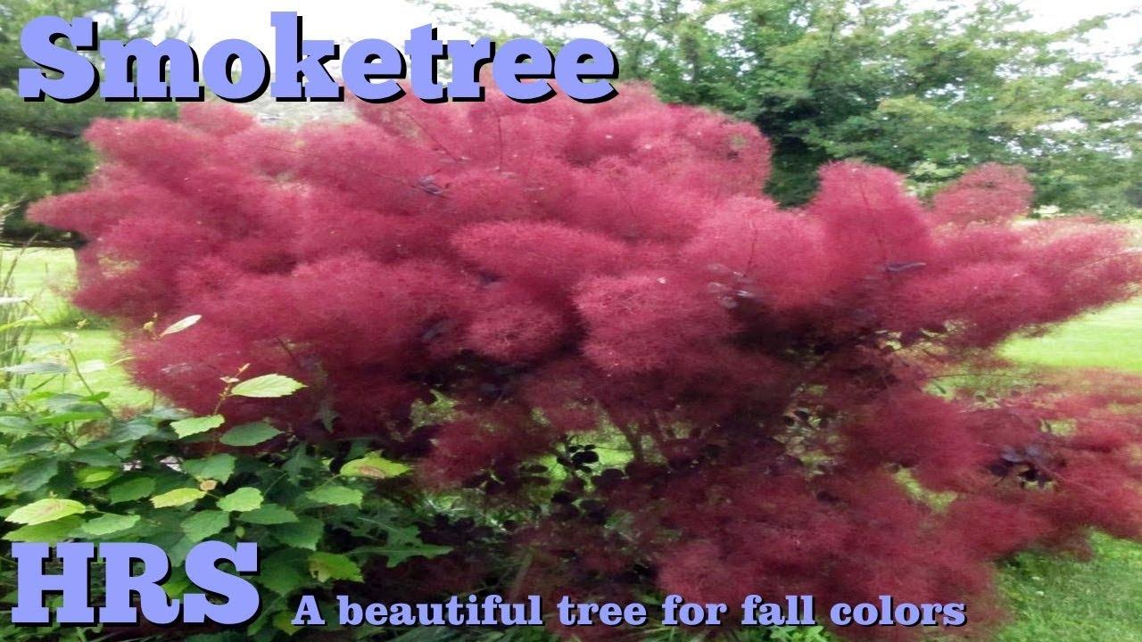 Royal Purple Smoketree Cotinus Coggygria Colorful Fall