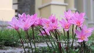 Pink Crocus lilies at St. Paul