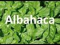 Plantas medicinales, la albahaca