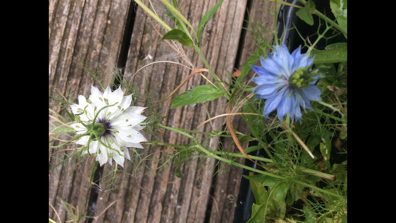 White blue nigella damascena love in the mist flowers in garden white blue nigella damascena love in the mist flowers in garden nigella damascena gardening mightylinksfo
