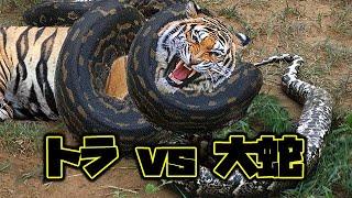 スマトラトラは巨大なパイソンに忍びより、ついにパイソンに絡まりまし...