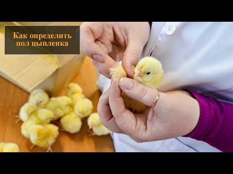 Как определить пол цыпленка