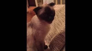 Кошка Жорик )Армянская кошка   Armenian Ket