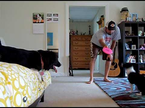 """Download Border Collie Mcnab Puppy  mix """"Layla"""" starting to play with disc"""