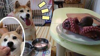 柴犬小春 【引っ張りだこ】始めてタコを見た柴犬の反応がストレートすぎた。 octopus