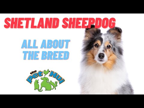 All About Dog Breed: Shetland Sheepdog