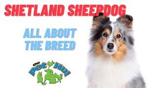 All About Dog Breed: Shetland Sheepdog