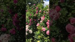 Розы цветут 2018
