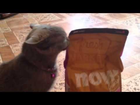 глистогонное для беременных британских кошек