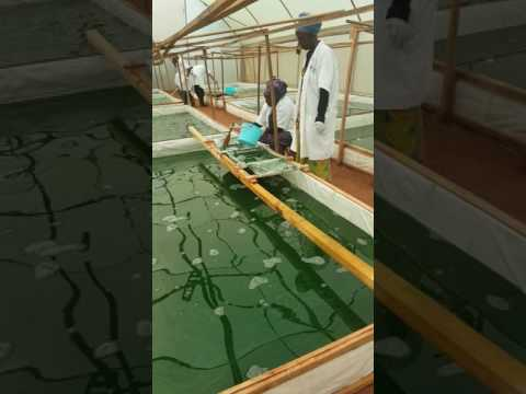 How the spirulina is harvested; interesting!