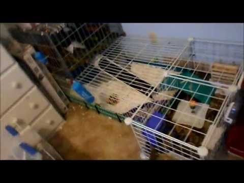 Updated Guinea Pig Cage Tour