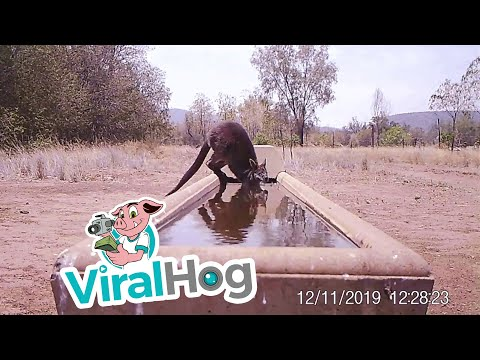 Animals Dip In For A Drink During Australian Drought || ViralHog