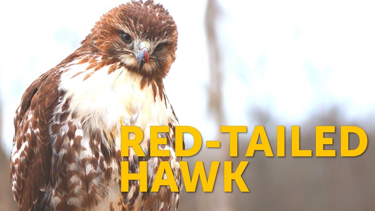watch a red tailed