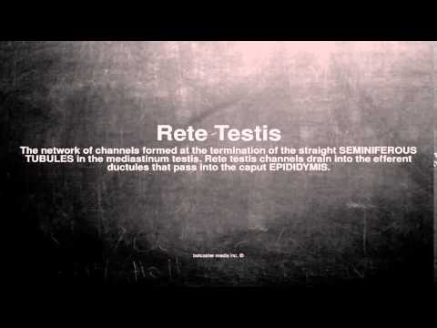 Medical vocabulary: What does Rete Testis mean