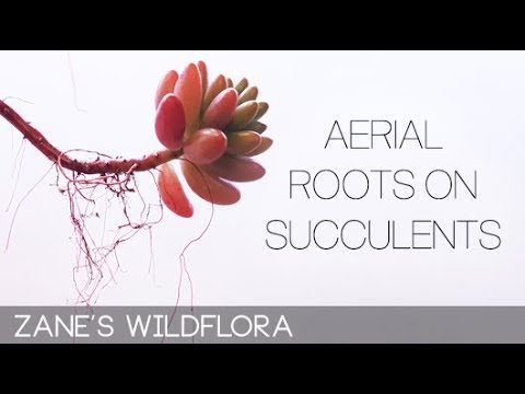 Aerial Roots on Succulents
