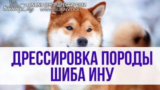 Дрессировка собаки породы Шиба Ину. Часть нашего занятия по послушанию