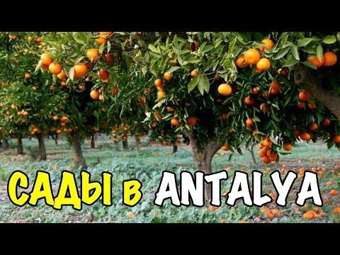 Анталия, Сады Апельсин, Мандарин, Гранат - Antalya - Turkey 2016 [IVAN LIFE]