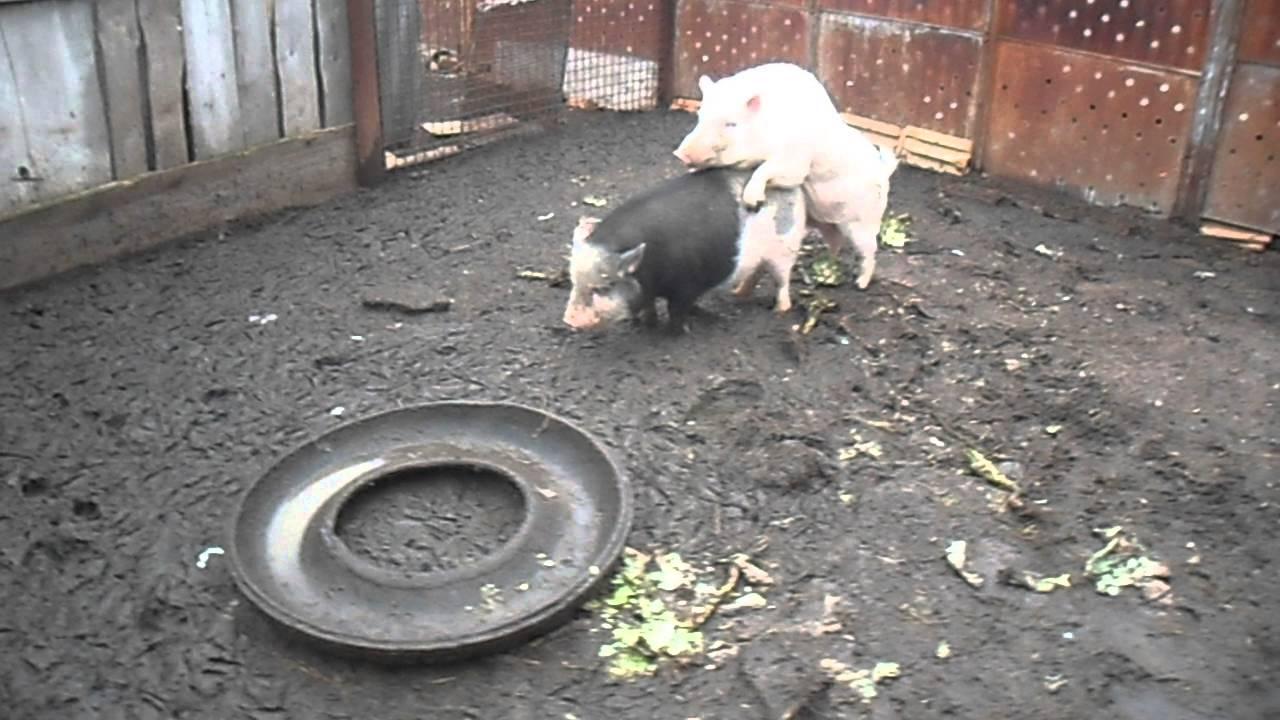 Кормление вьетнамских свиней - YouTube