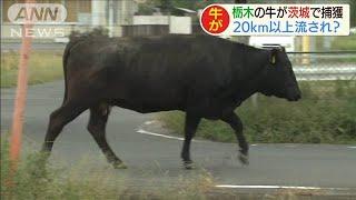 「牛が河川敷を歩いてる」栃木から茨城に流された?(19/10/14)