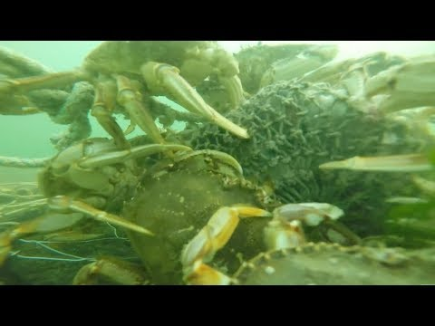 GoPro in Crab Trap - What Goes on Underwater!