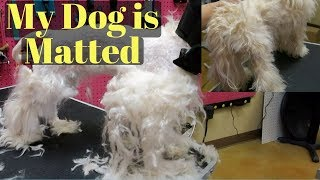 Dog Is Matted Maltipoo Groom
